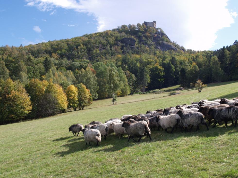 Owce jako