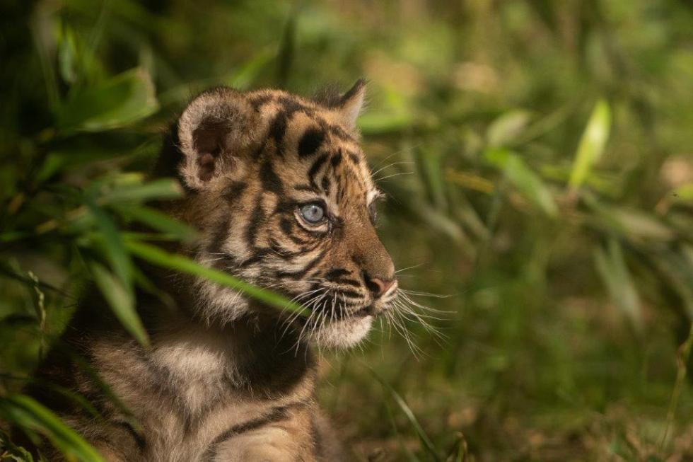 Znamy imię wrocławskiej tygrysicy