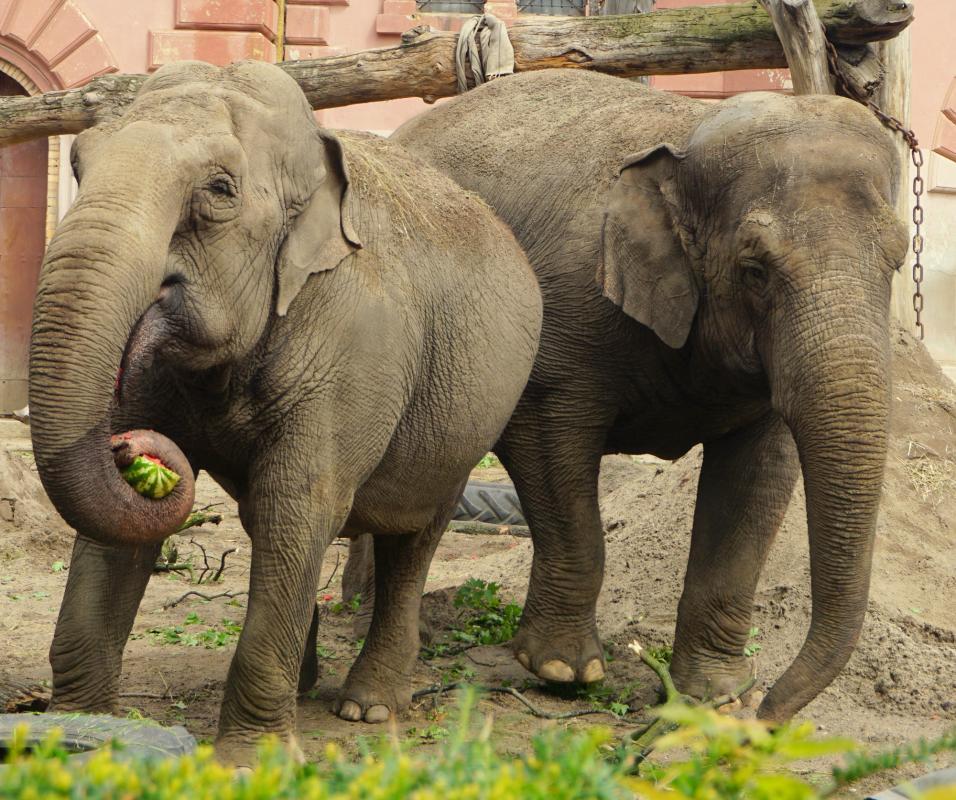 Światowy Dzień Słonia - słonie indyjskie wniewoli turystyki